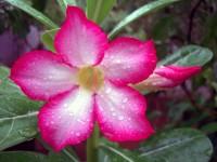 -Adenium_obesum-_Also_known_by_the_names_-Sabi_Star,_Kudu,_Mock_Azalea,_Impala_Lily_&_Desert-rose