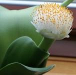 Гемантус-белый-