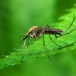 Комар-фото
